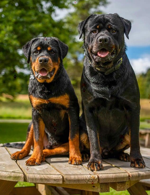 Mua bán chó Rottweiler con thuần chủng, giá tốt – Dogily Petshop tại TpHCM, Hà Nội