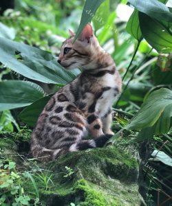 Bengal một giống mèo cảnh khá hiếm, chúng sở hữu những hoa văn và đặc điểm ngoại hình giống với một chú báo nhỏ.