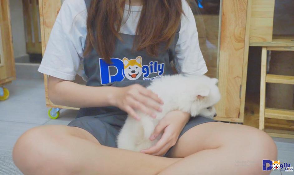 Hinh nền Video giới thiệu về chó Phốc sóc tại Dogily Petshop