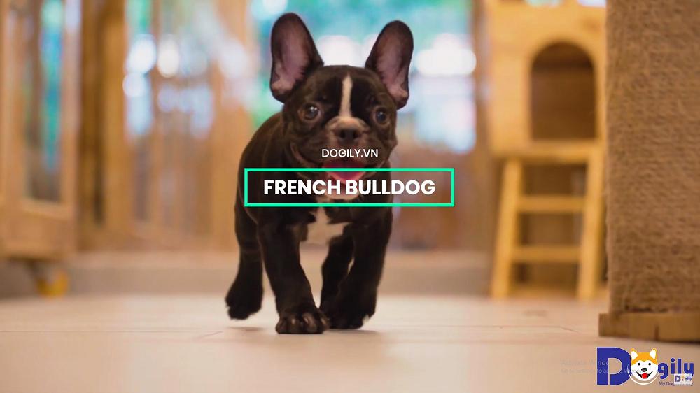 Hình nền Video giới thiệu về giống chó Bull Pháp tại Dogily Petshop Hà Nội, TpHCM.