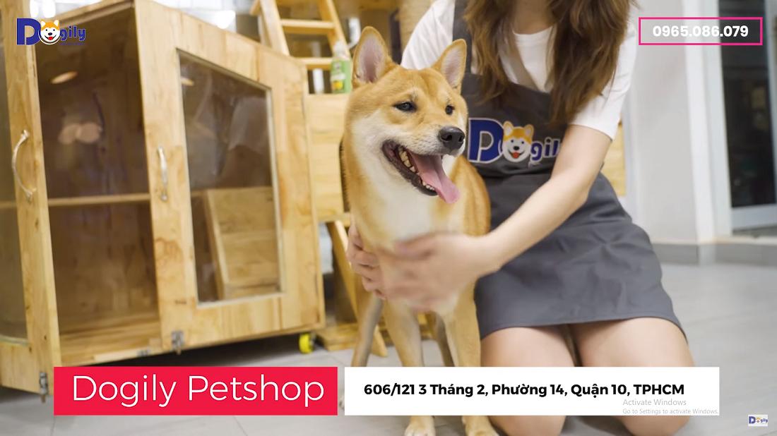 Hình nền Video giới thiệu về giống chó Shinba Inu tại Dofily Petshop