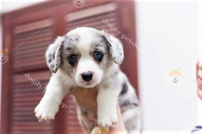 Chó Corgi – Lý Do Nên Mua Chó Corgi Làm Thú Cưng