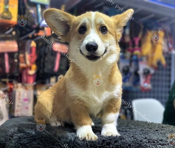 Chó Corgi – Lý Do Nên Mua Chó Corgi Làm Thú CưngChó Corgi – Lý Do Nên Mua Chó Corgi Làm Thú Cưng