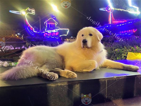 Mua bán chó Golden Retriever con giá tốt tại Dogily Petshop Hà Nội, TpHCM
