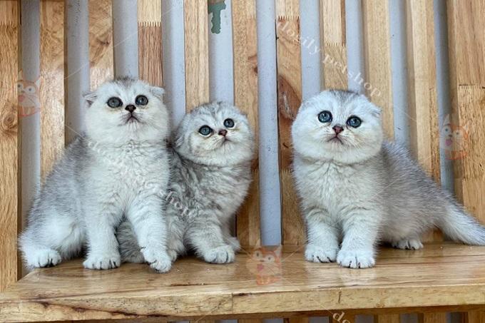 đàn 3 mèo silver tai cụp