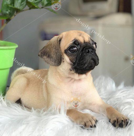 Chó Pug con thuần chủng - Dogily Petshop
