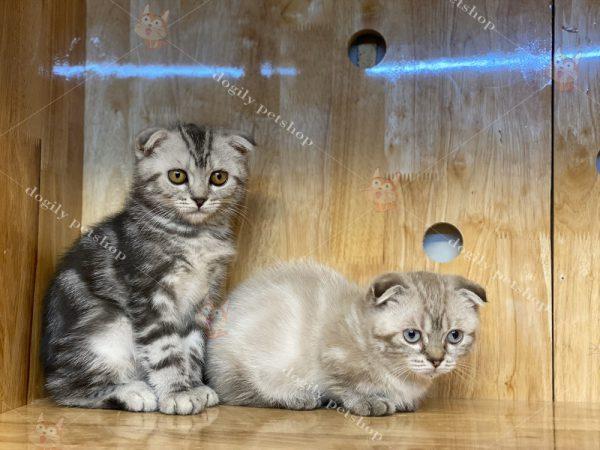 Bán Mèo tai cụp, Giá Bán Mèo Scottish Fold Tốt Nhất