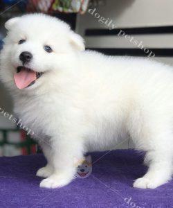 Chó Samoyed con thuần chủng, giá tốt tại Dogily Petshop.