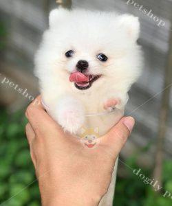 Chó Phốc Sóc – Giá Chó Phốc Sóc Thuần Chủng