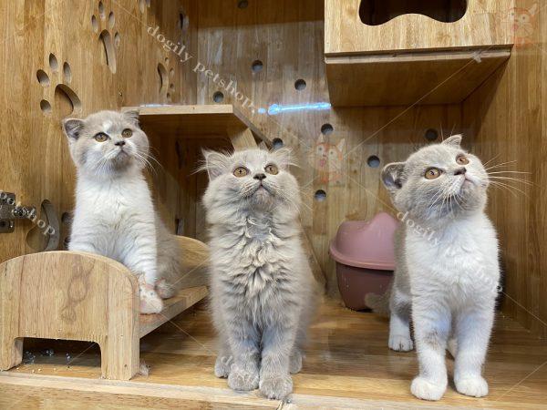 Mèo Anh lông ngắn lai mèo Ba Tư