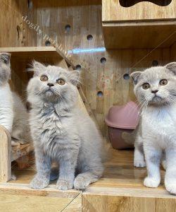 Mua Bán Mèo Anh Lông Dài, Giá Bán Mèo Anh Lông Dài ALD Tốt Nhất, Bán Mèo tai cụp, Giá Bán Mèo Scottish Fold Tốt Nhất