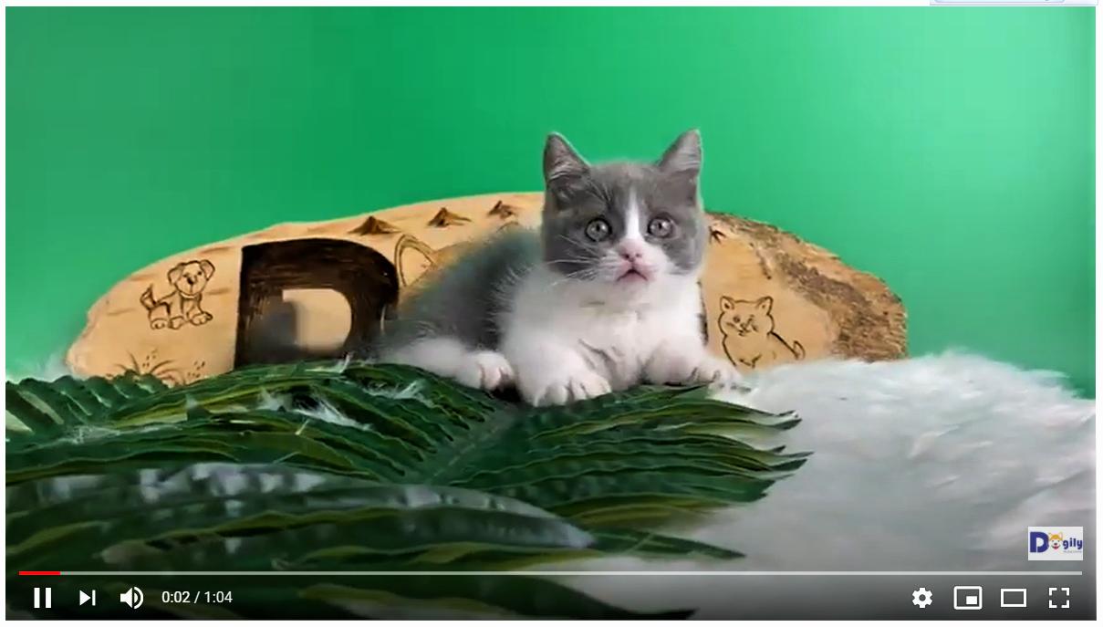 Mèo Munchkin chân ngắn: Giá cả, địa chỉ mua bán mèo Munchkin uy tín tại Hà Nội và TPHCMMèo Munchkin chân ngắn: Giá cả, địa chỉ mua bán mèo Munchkin uy tín tại Hà Nội và TPHCM