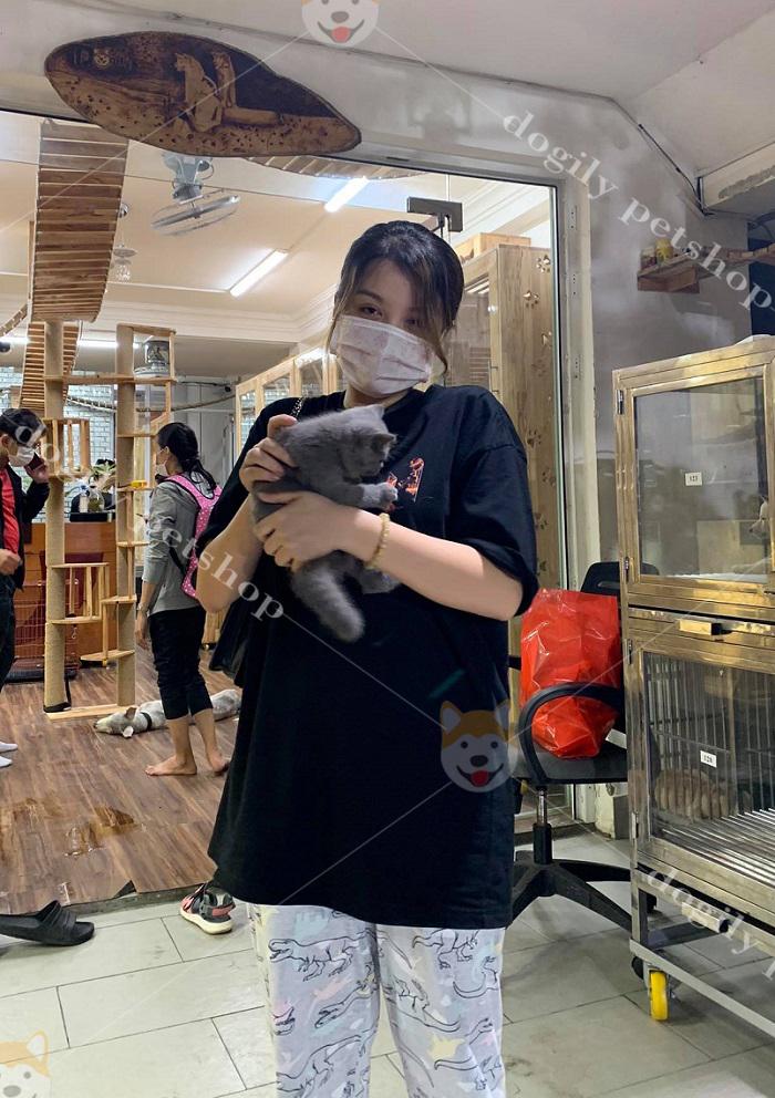 Mèo Anh Lông Ngắn, Giá Mua Bán Mèo ALN Tại DOGILY PETSHOP