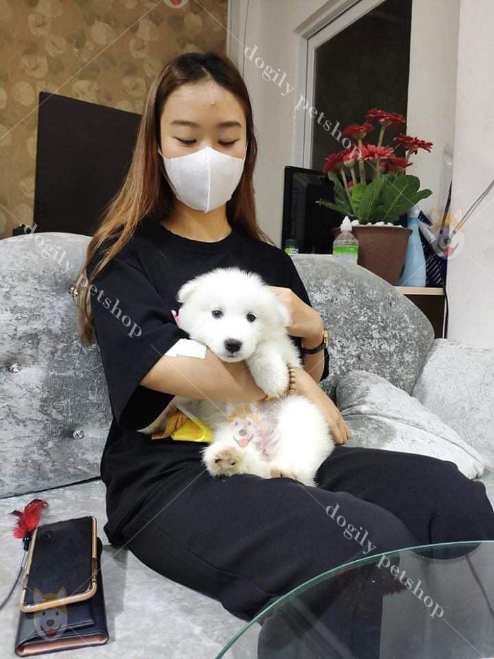Chó Samoyed tại Dogily Petshop