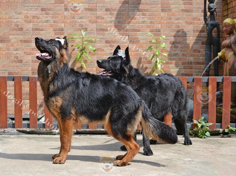 Mua bán chó Becgie Đức giá tốt tại Dogily Petshop