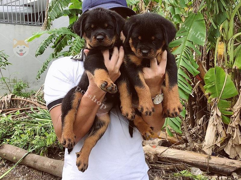 Mua bán chó Rốt con thuần chủng có tại Dogily Petshop Hà Nội, TpHCM
