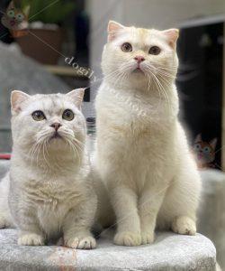 Mua bán mèo con thuần chủng tại Dogily Petshop Hà Nội, TpHCM
