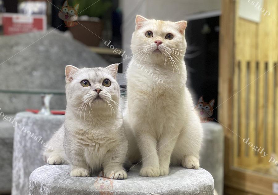 Mèo ALn, tai cụp màu Red (bên phải) cùng mèo Munchkin tai chụp màu Silver (bên trái) - Dogily Petshop