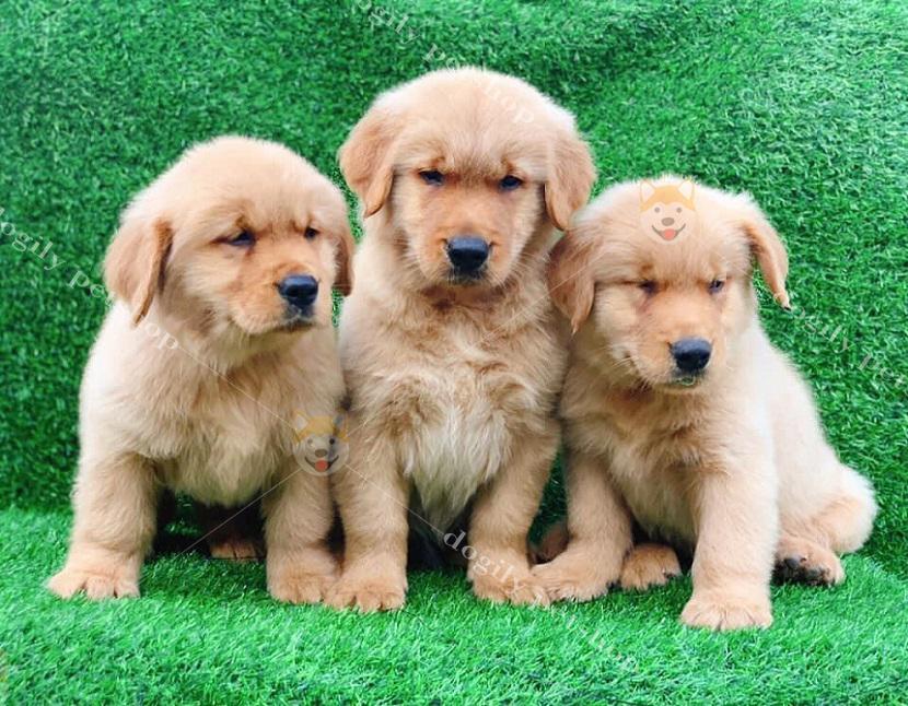 Đàn chó Rotweiler con thuần đang bán tại Dogily Petshop