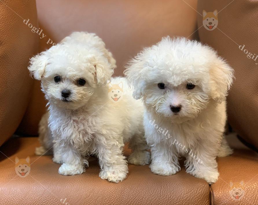 Chó Poodle con thuần chủng màu trắng - Dogily petshop