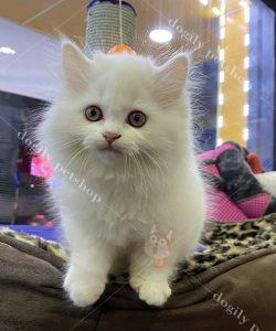 Mua bán mèo Anh lông dài con thuần chủng màu trắng tại Dogily Petshop TpHCM, hà Nội