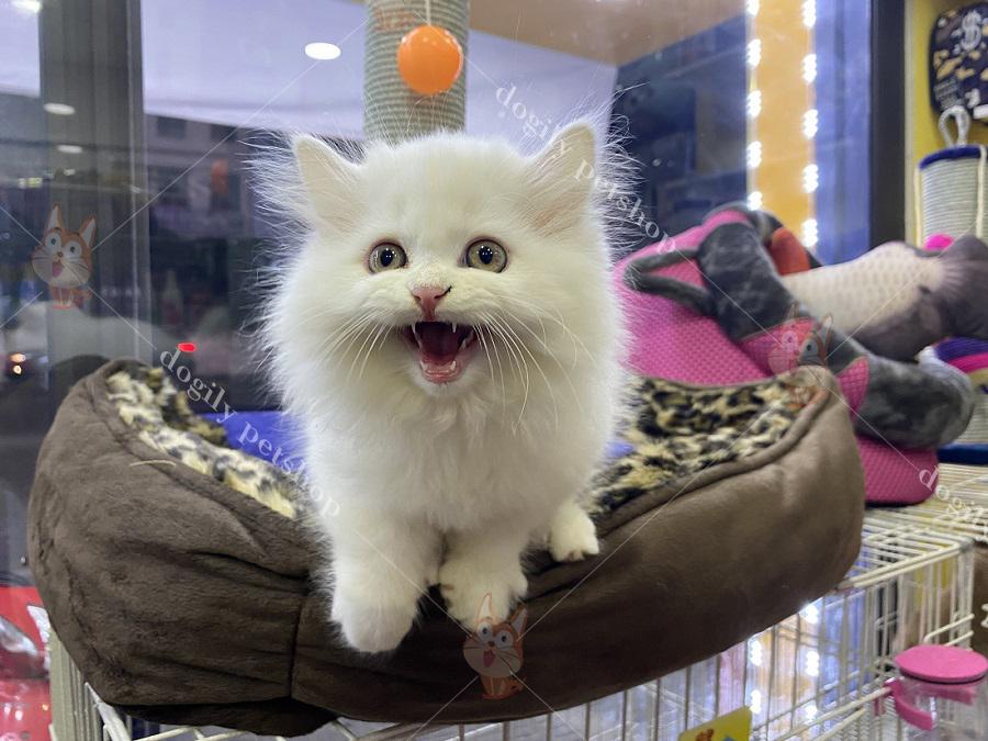 Mua bán mèo ALD con thuần chủng màu trắng có tại Dogily Petshsop Hà Nội, TpHCM