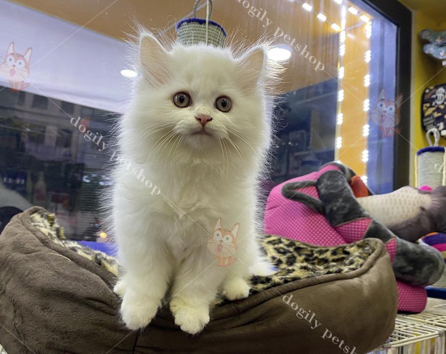 Mèo British Longhair con thuần chủng màu trắng tại Dogily Petshop