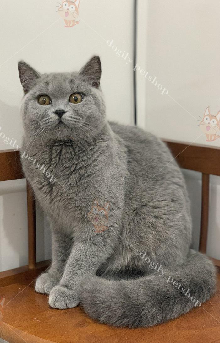 Không chỉ có mặt tròn, đuôi và tứ chi mèo Anh cũng rất tròn trịa.