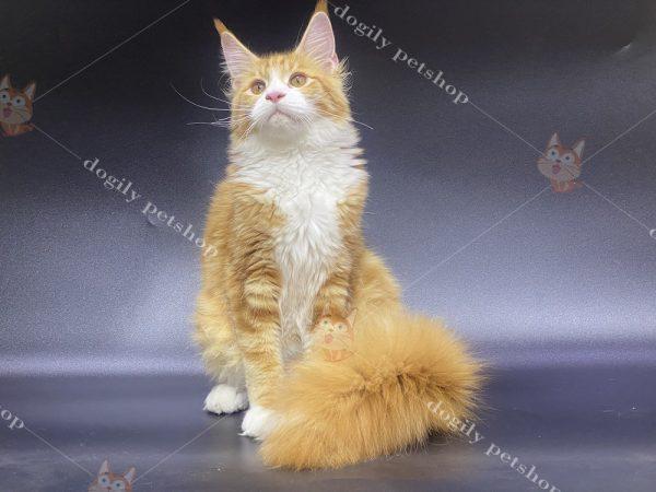 Mua bán mèo Maine Coon con thuần chủng có tại Dogily Petshop