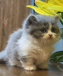 Mua bán mèo Munchkin màu Bicolor con thuần chủng tại Dogily Petshop
