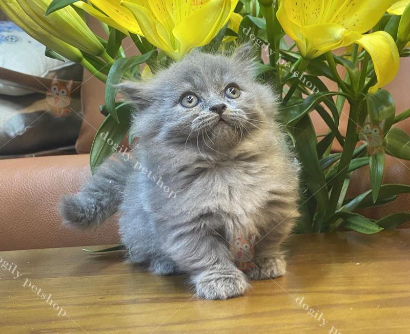 Mèo chân ngắn con thuần chủng màu xám xanh có tại Dogily petshop Hà Nội, TpHCM