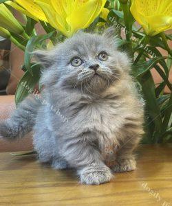 Mua bán mèo Munchkin con thuần chủng màu xám xanh tại Dogily petshop