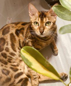 Đặc điểm giống mèo Bengal.