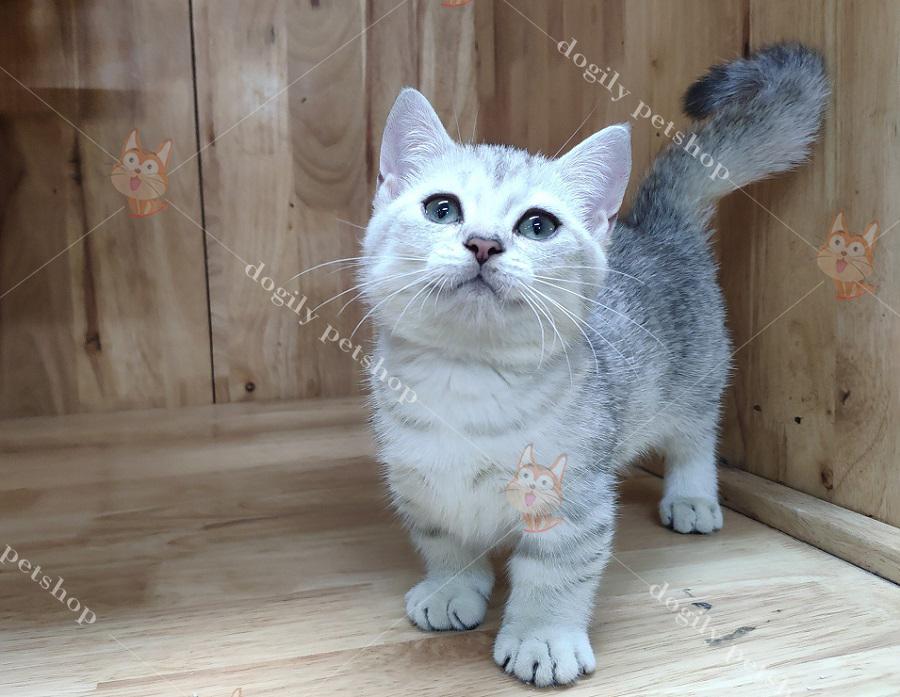 Mèo Munchkin con thuần chủng màu Silver - Dogily Petshop