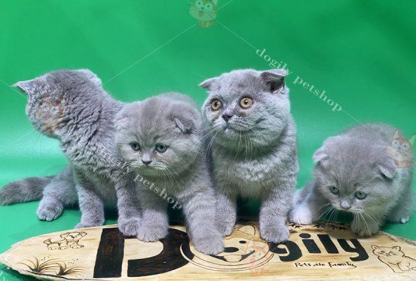 Bảng màu của mèo tai cụp Scottish Fold
