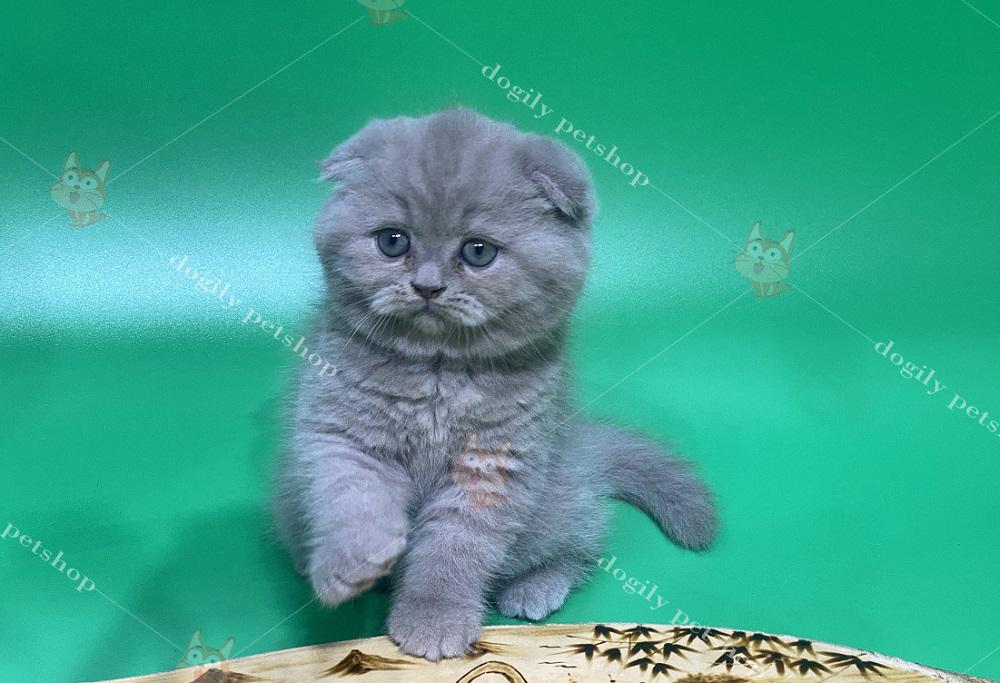 Bé mèo Anh lông ngắn, tai cụp con màu xám xanh thuần chủng có tại Dogily Petshop