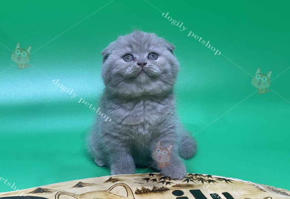 Mèo Scottish Fold lông ngắn.