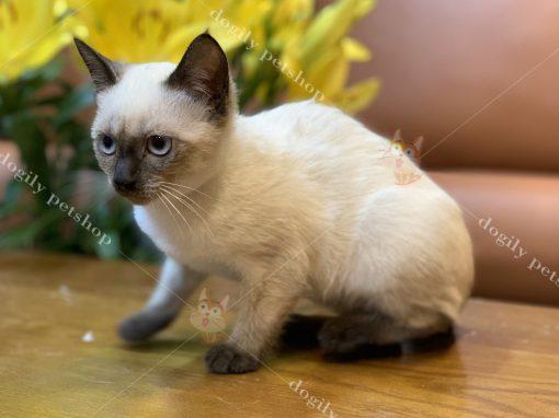 Mua bán mèo Xiêm thuần chủng tại Dogily petshop