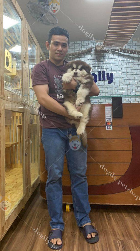 Chó Alaska Malamute thuần chủng - Dogily