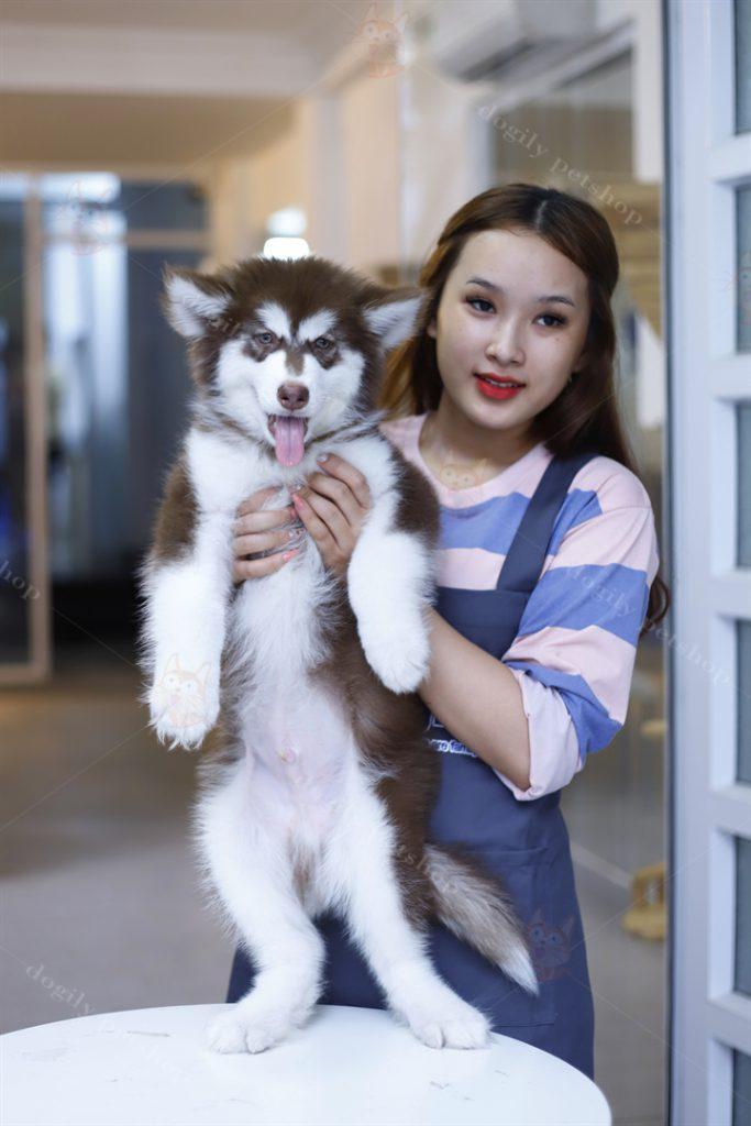 Chó Alaska nâu đỏ thuần chủng