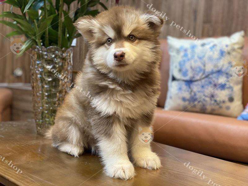 Chó Alaska – Mua Bán Chó Alaska Con Uy Tín Tại Dogily Petshop