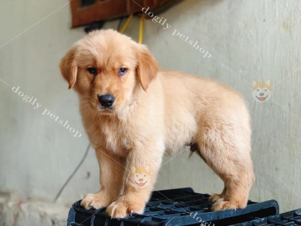 Chó Rốt con thuần chủng có tại Dogily Petshop