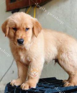 Mua bán chó Golden Retriever con thuần chủng màu vàng kem tại DOGILY PETSHOP Hà Nội, TP.HCM