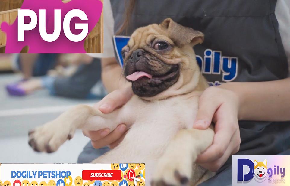 Hình nền video giới thiệu về giống chó PUG của Dogily Petshop (Dogily Việt Nam)