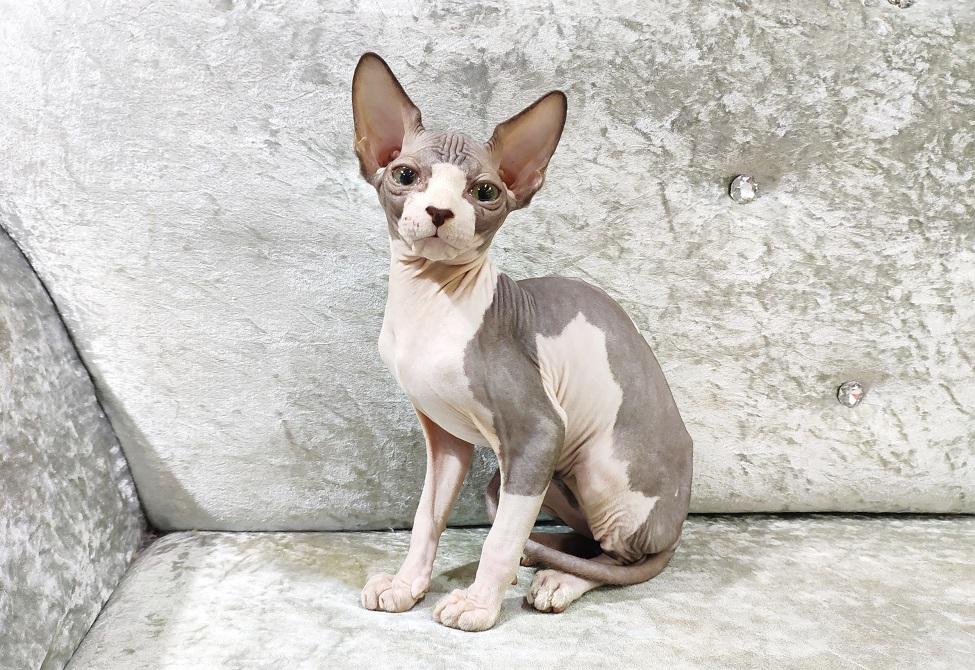 Mèo Nhân sư không lông Sphynx bicolor cực độc lạ 2 tháng tuổi đang bán tại hệ thống Dogily Petshop.