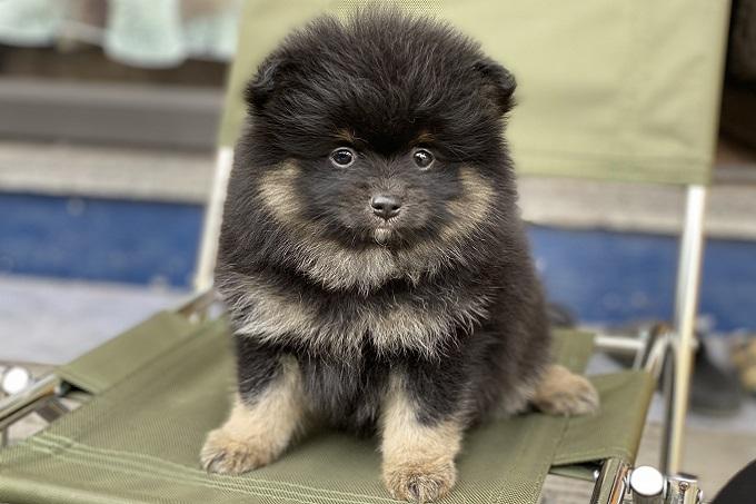 Chó Phốc Sóc màu Black & Tan