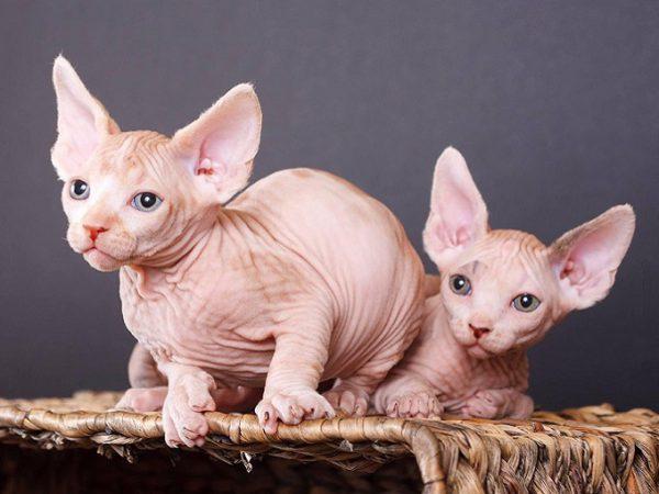 Hai bé mèo Ai Cập con đang bán tại hệ thống Dogily Petshop Tphcm, Hà Nội.