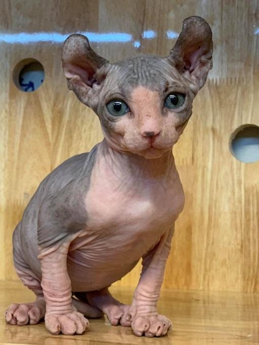 Mèo Ai Cập giá bao nhiêu tiền tại Dogily Petshop?