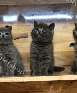 Mèo ALN con màu xám xanh