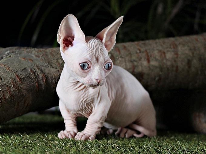 Mèo không lông con Dogily Pet Shop.